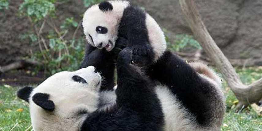 Greenpeace, la Cina dichiara protetto l'habitat del panda gigante