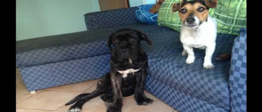 Il cane Corso: un impavido gigante dal cuore tenero