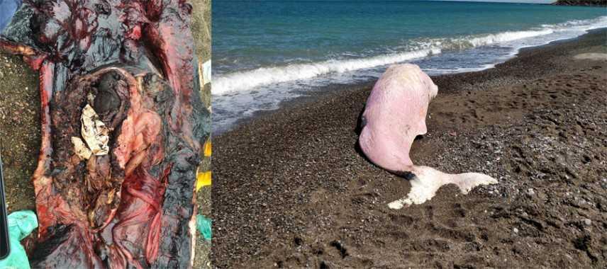 Capodoglio spiaggiato in Sicilia, Greenpeace: «nel suo stomaco trovata molta plastica