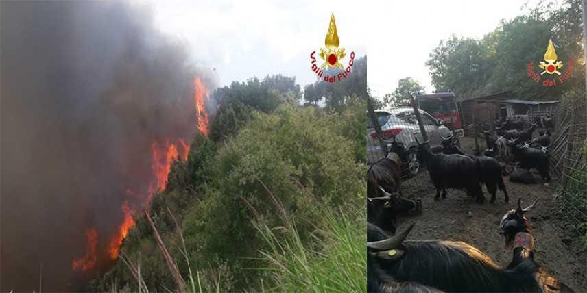 Fossato Serralta (CZ) il fuoco mette a dura prova i VVF. Salvati dalle fiamme un centinaio di capre